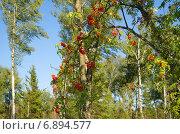 Летний пейзаж с красной рябиной, эксклюзивное фото № 6894577, снято 3 августа 2014 г. (c) Елена Коромыслова / Фотобанк Лори