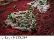 Купить «Стебли прорастают в марле», фото № 6895397, снято 7 января 2015 г. (c) Николай Лунев / Фотобанк Лори