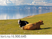 Купить «Байкал летом. Коровы на острове Ольхон», фото № 6900645, снято 19 июня 2014 г. (c) Виктория Катьянова / Фотобанк Лори