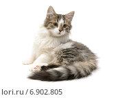 Пушистый котенок  на белом фоне. Стоковое фото, фотограф Ласточкин Евгений / Фотобанк Лори