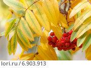 Купить «Плоды рябины на фоне желтых листьев», фото № 6903913, снято 27 сентября 2014 г. (c) Йомка / Фотобанк Лори