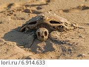 Скелет морской черепахи. Стоковое фото, фотограф Вадим Козуренко / Фотобанк Лори