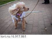 Декоративная собачка с бантиком. Стоковое фото, фотограф Artem Kotelnikov / Фотобанк Лори