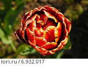 Купить «Бутон красного тюльпана вид сверху крупным планом», фото № 6932017, снято 21 мая 2011 г. (c) Tatiana Tetereva / Фотобанк Лори