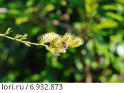Купить «Цветущая ветка вербы», фото № 6932873, снято 23 марта 2012 г. (c) Татьяна Кахилл / Фотобанк Лори