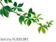 Купить «Ветка винограда с зелеными листьями», фото № 6933081, снято 4 октября 2014 г. (c) Анна Полторацкая / Фотобанк Лори