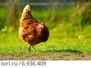 Купить «Красная курица-несушка на фоне зеленой травы», фото № 6936409, снято 6 мая 2012 г. (c) Tatiana Tetereva / Фотобанк Лори