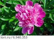 Купить «Ярко-розовый пион (лат. Paeonia)», эксклюзивное фото № 6940353, снято 13 июня 2014 г. (c) Елена Коромыслова / Фотобанк Лори