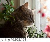 Купить «Кот сидит на подоконнике и смотрит в окно», фото № 6952161, снято 20 сентября 2018 г. (c) Сурикова Ирина / Фотобанк Лори