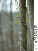Купить «Зеленый плющ вьется вокруг ствола дерева», фото № 6952885, снято 23 марта 2013 г. (c) Сурикова Ирина / Фотобанк Лори