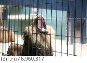 Лев зевает за решёткой. Стоковое фото, фотограф Оксана Алексеенко / Фотобанк Лори