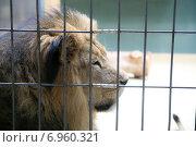 Лев за решёткой. Стоковое фото, фотограф Оксана Алексеенко / Фотобанк Лори