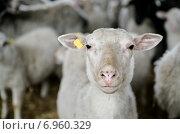 Подстриженная овца на ферме. Стоковое фото, фотограф Оксана Алексеенко / Фотобанк Лори