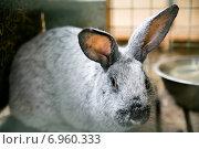 Серебристый кролик крупным планом. Стоковое фото, фотограф Оксана Алексеенко / Фотобанк Лори
