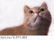 Кошка персикового окраса смотрит вверх, на белом фоне. Стоковое фото, фотограф Константин Кузнецов / Фотобанк Лори