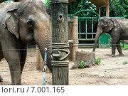 Индийские слоны в зоопарке города Хошимин (Сайгонский зоопарк) (2014 год). Стоковое фото, фотограф Ольга Кирсанова / Фотобанк Лори