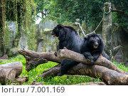 Гималайские медведи в зоопарке города Хошимин (2014 год). Стоковое фото, фотограф Ольга Кирсанова / Фотобанк Лори