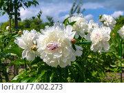 Купить «Сортовой белый пион (Фестива Максима) цветет в саду», фото № 7002273, снято 11 июня 2013 г. (c) Ольга Сейфутдинова / Фотобанк Лори