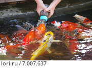 Купить «Кормление карпов кои из детской бутылочки на территории сафари-парка (Hua Hin Safari & Adventure Park) в Хуахине, Таиланд», фото № 7007637, снято 15 января 2015 г. (c) Natalya Sidorova / Фотобанк Лори