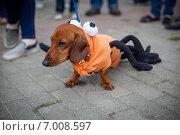 Такса в костюме. Стоковое фото, фотограф Artem Kotelnikov / Фотобанк Лори