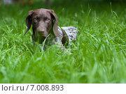 Немецкий короткошёрстный пойнтер. Стоковое фото, фотограф Сергей Тарасов / Фотобанк Лори