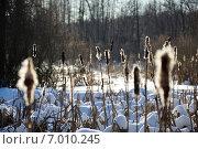 Рогоз зимой. Стоковое фото, фотограф Евгений Виноградов / Фотобанк Лори
