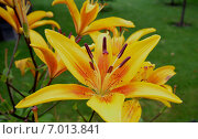 Купить «Оранжевые лилии», фото № 7013841, снято 8 августа 2014 г. (c) Александр Карпенко / Фотобанк Лори