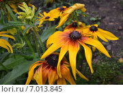 Купить «Рудбекия (Rudbeckia)», фото № 7013845, снято 8 августа 2014 г. (c) Александр Карпенко / Фотобанк Лори