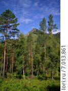 Купить «Лес и горы, Республика Алтай, Россия», фото № 7013861, снято 8 августа 2014 г. (c) Александр Карпенко / Фотобанк Лори