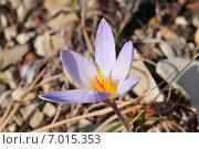 Купить «Шафран двухцветковый Crocus biflorus (C.tauricus (Trautv.) Puring)», фото № 7015353, снято 15 февраля 2015 г. (c) Игорь Архипов / Фотобанк Лори