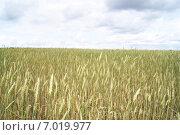 Русское поле. Стоковое фото, фотограф Марина Пыхова / Фотобанк Лори