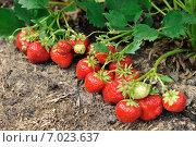 Клубника в саду. Стоковое фото, фотограф Светлана Давыдова / Фотобанк Лори