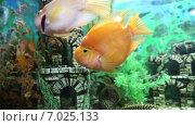 Купить «Рыбы-попугаи и пятнистый сом птеригоплихт в аквариуме», видеоролик № 7025133, снято 24 марта 2018 г. (c) Евгений Ткачёв / Фотобанк Лори