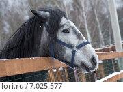 Серая лошадь. Стоковое фото, фотограф Екатерина Рыжова / Фотобанк Лори