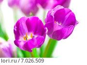Купить «Фиолетовые тюльпаны», фото № 7026509, снято 20 января 2015 г. (c) Сурикова Ирина / Фотобанк Лори