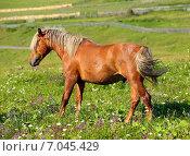 Купить «Коричневая лошадь с белой в гривой на поле», фото № 7045429, снято 16 июля 2014 г. (c) Михаил Коханчиков / Фотобанк Лори