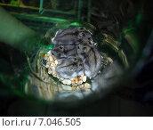 Джунгарский хомяк. Стоковое фото, фотограф Юлия Волкова / Фотобанк Лори