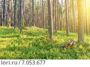 Купить «Закат в сосновом лесу», фото № 7053677, снято 5 июля 2014 г. (c) Икан Леонид / Фотобанк Лори