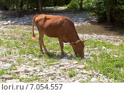Купить «Рыжий бык пасётся у горной реки», фото № 7054557, снято 12 июля 2013 г. (c) Николай Мухорин / Фотобанк Лори