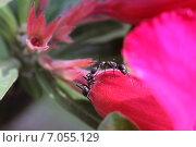 Купить «Два черных муравья на лепестке цветка. Обмен информацией», фото № 7055129, снято 19 февраля 2015 г. (c) Александр Тарасенков / Фотобанк Лори