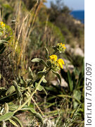 Зопник кустарниковый ( Phlomis fruticosa ) Стоковое фото, фотограф Татьяна Ляпи / Фотобанк Лори
