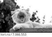 Зевающий кот. Стоковое фото, фотограф Владимир Николаевич Гневушев / Фотобанк Лори