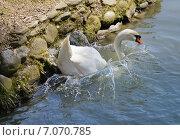 Купить «Белый лебедь плюхнулся в воду с берега», эксклюзивное фото № 7070785, снято 16 апреля 2014 г. (c) Dmitry29 / Фотобанк Лори