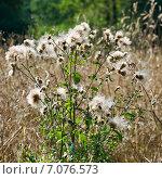 Купить «Бодяк полевой, или розовый́ осот (лат. Cirsium arvense)», эксклюзивное фото № 7076573, снято 14 августа 2010 г. (c) Александр Щепин / Фотобанк Лори