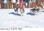 Гонка на собачьих упряжках на Камчатке. Стоковое фото, фотограф Федоренко Борис / Фотобанк Лори