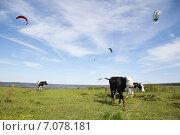 Коровы в поле у реки под голубым небом. Стоковое фото, фотограф Ксения Богданова / Фотобанк Лори