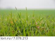 Мокрая зеленая трава в поле. Стоковое фото, фотограф Михаил Бессмертный / Фотобанк Лори