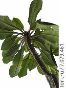 Молочай(Euphorbia) leuconeura. Стоковое фото, фотограф Митрофанов Роман / Фотобанк Лори