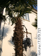 Купить «Пальмовое дерево», фото № 7079721, снято 29 марта 2007 г. (c) Робул Дмитрий / Фотобанк Лори