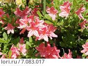 Купить «Розовые цветы рододендрона (Rhododendron)», фото № 7083017, снято 24 мая 2014 г. (c) Илюхина Наталья / Фотобанк Лори
